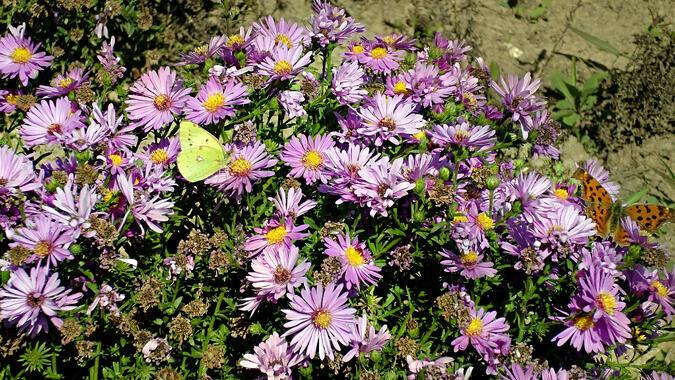 Flowers on Han