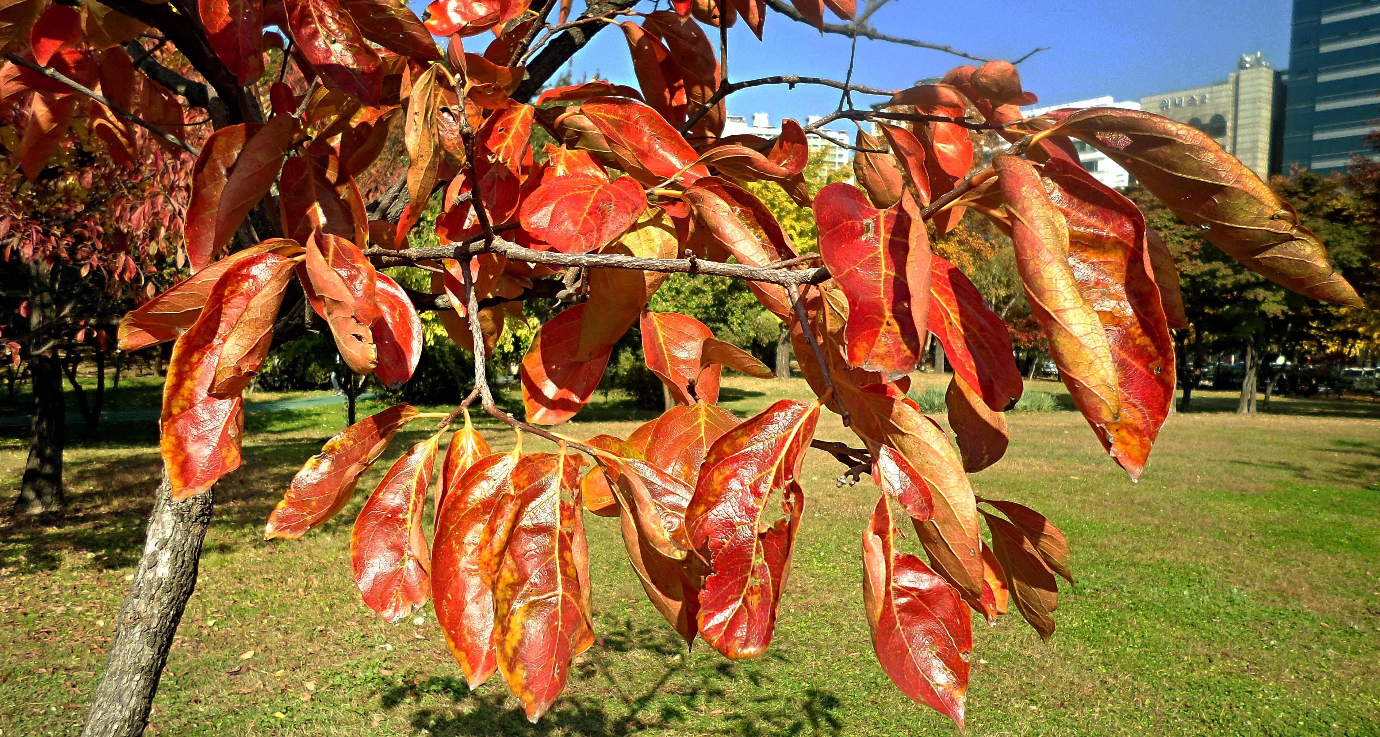 Korea leaves and foliage