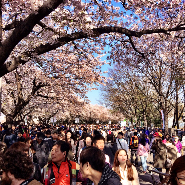 cherry blossoms spring korea