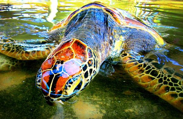 Turtle swimming in Ubud, Bali, Indonesia