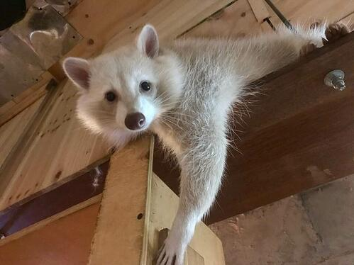 raccoon_cafe