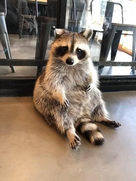 raccoon_cafe_1