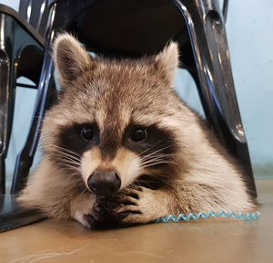 A Quick Stop at a Raccoon Cafe with Giselle